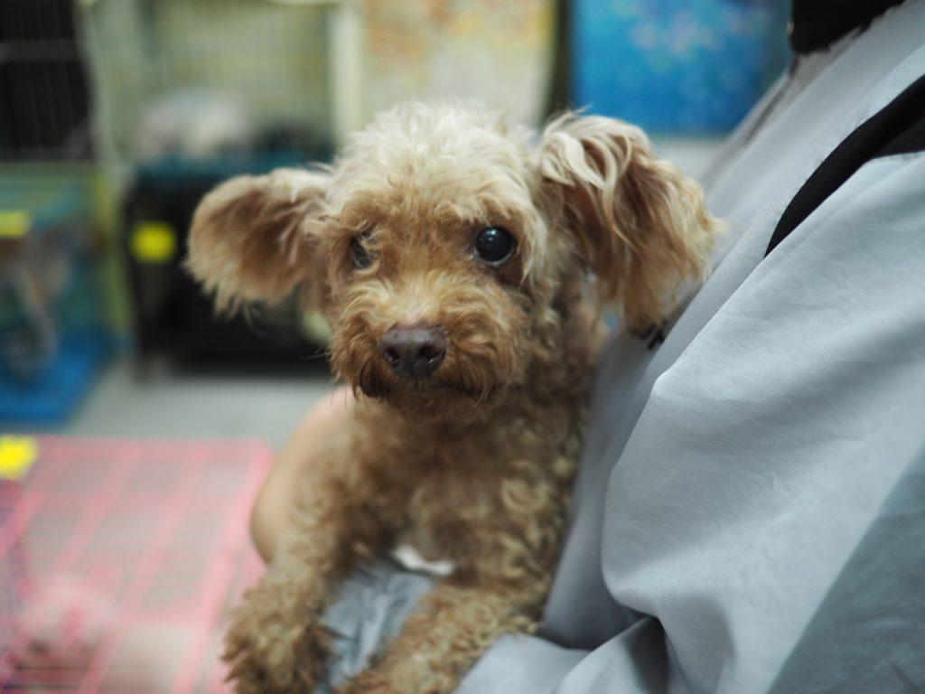 領養poodle (男) (852)96919313/ whatsapp : 92141178 – 亞洲非牟利動物救援有限公司 – ARC