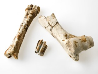 Reconstructed bison bone from the Portal site, dating back c.68,000 years.