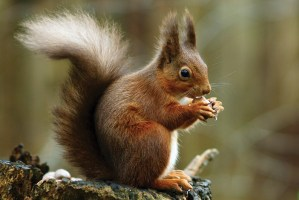 Squirrel_posing-(C)-Peter-Trimming,-Wikimedia-Commons
