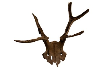 One of the celebrated antler frontlets: red-deer skulls that were modified to be worn on human heads.