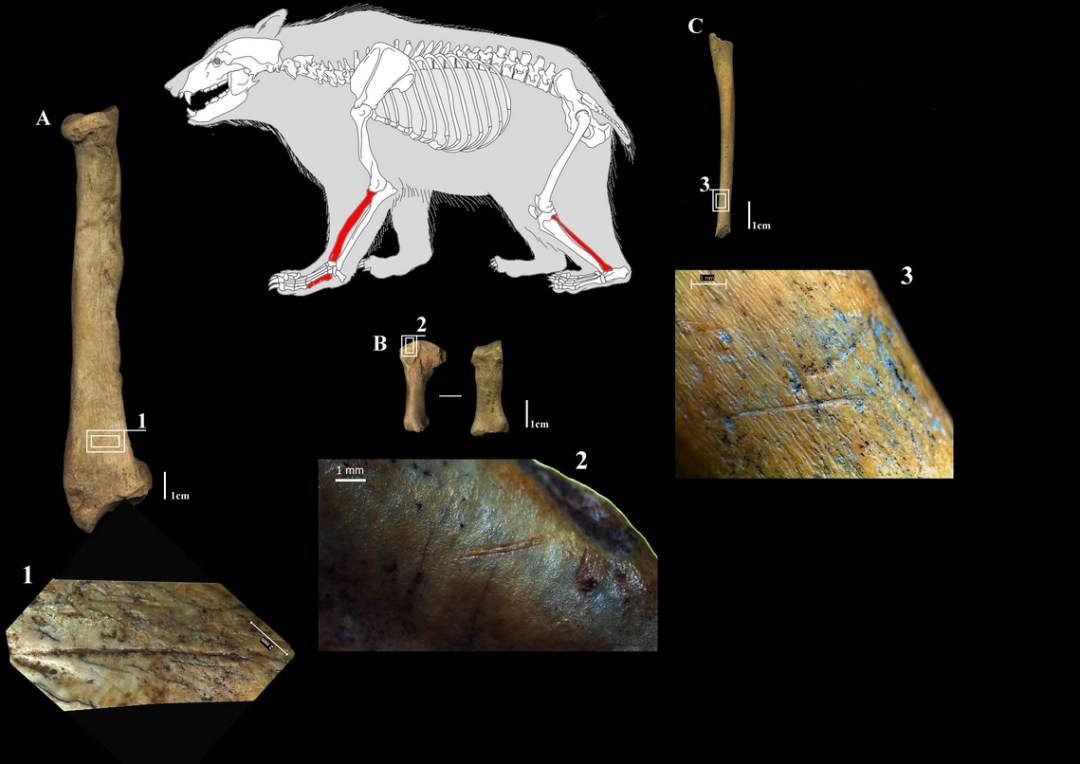 cut marks su ossa di ors odelle caverne