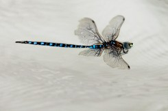 Dragonfly floating in the river