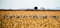 Sandhill Cranes having a meeting