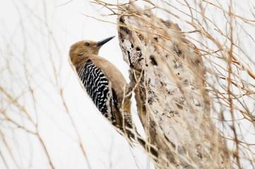 Gila Woodpecker (?)