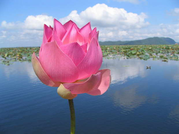 The Symbolism of the Lotus  Archilivingcom