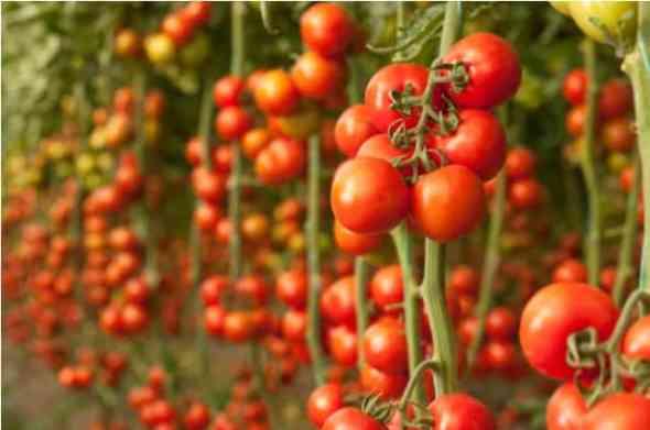 tomatoes vertical garden