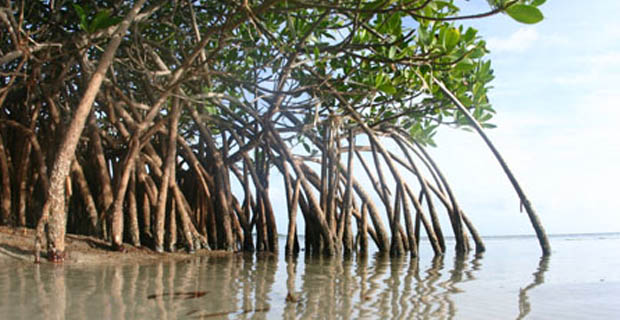 The-mangrove-b