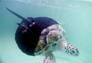 allison-sea-turtle