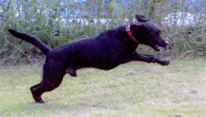 black-lab-mix, a stand-in for Sampson