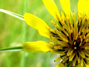 Montana Wild Flower