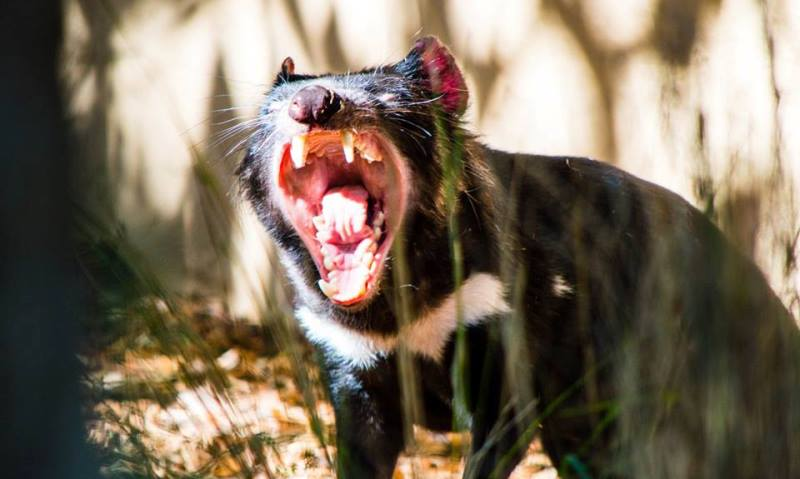 Featherdale Wildlife Park Devil