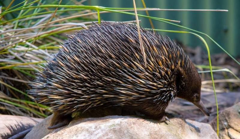 Featherdale Wildlife Park Echidna
