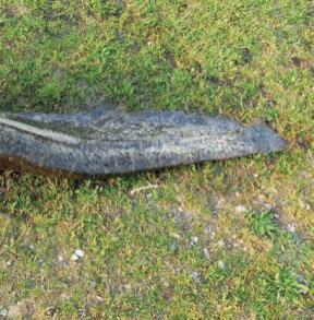 Un Silurus glanis di 1,62 centimetri di lunghezza per 39 chili di peso, ripreso da due diverse angolazioni. L'asta della freccia è stata riposizionata per evidenziare il punto d'impatto.
