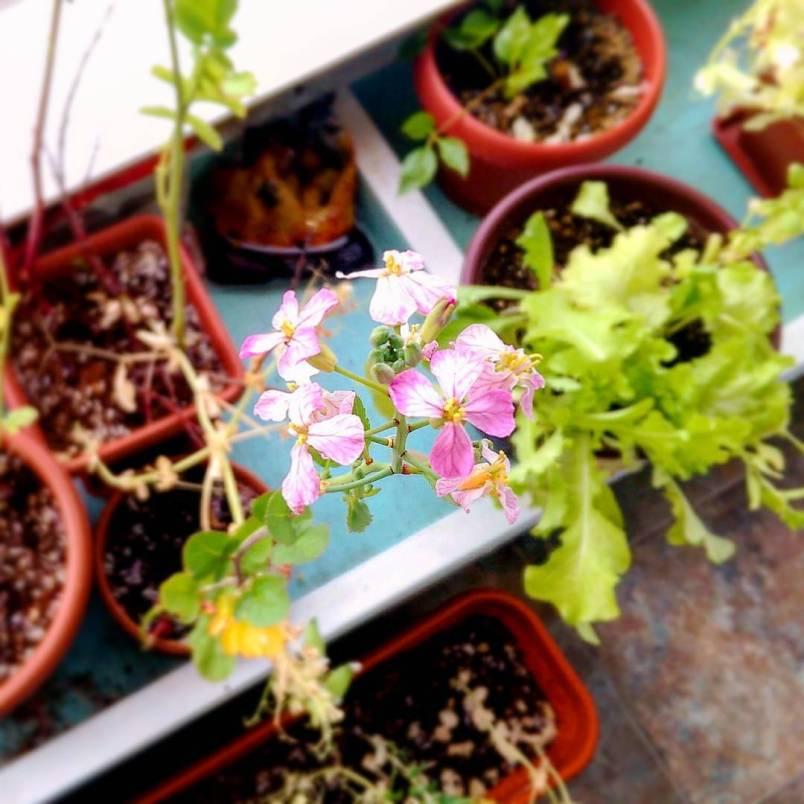 ArcticDeco.com: Arctic radish blossoms