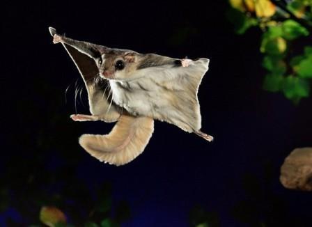 Resultado de imagen para ardilla voladora