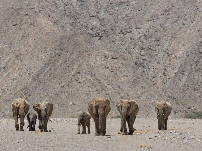 The Desert Elephants of Kunene, Namibia
