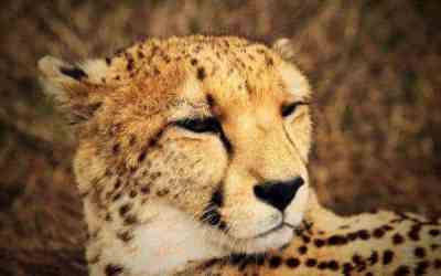 Are we doing enough to help save the cheetah?
