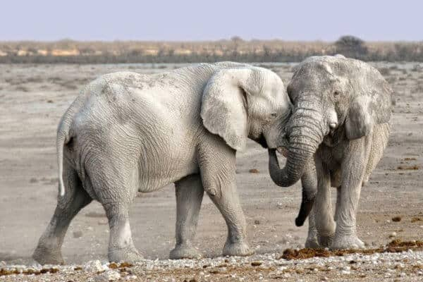 Arebbusch Wildlife – The Elephants of Namibia