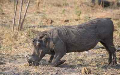 Warthogs in Namibia