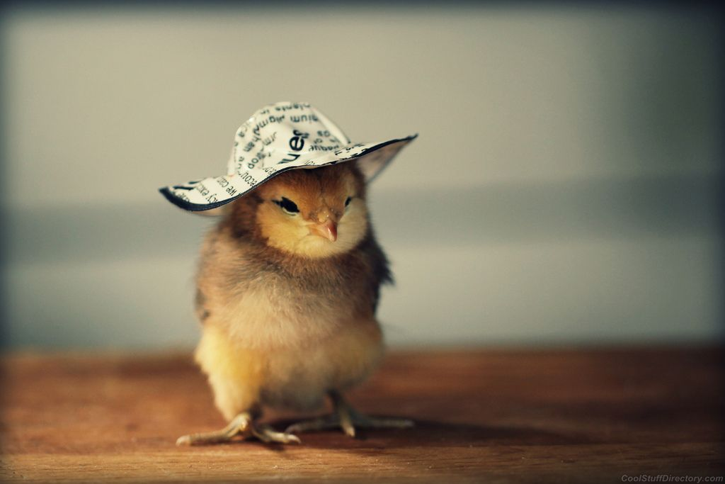 Cutest Baby Chicks in Hats by Julie Persons (1)