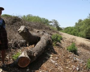 Talaron 15 algarrobos de 40 años para comercio ilegal de madera
