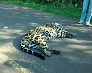 Un camión atropelló y mató un yaguareté en la ruta 19, Misiones. (@misionesonline)