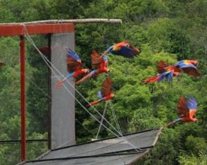 El 14 de junio fue liberadas 27 guacamayas rojas en la reserva de Los Tuxtlas, Veracruz. Foto: Diana Caballero