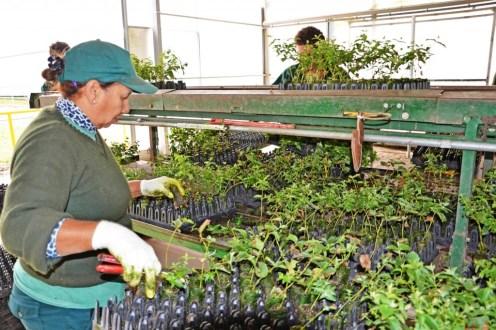 UPM cuenta con los viveros San Francisco y Santana. El primero tiene una capacidad de producción de 20 millones de plantines (el 80% corresponde a la especie Grandis de eucalipto). El segundo está preparado para alcanzar un total de 15 millones de plantines (el 75% de la especie Dunnii). Entre ambos, el área de producción alcanza a unos 110 mil metros cuadrados.