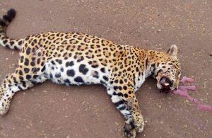 Tragedia en el Urugua-í: conductor chocó y mató a una yaguareté preñada sobre la ruta 19