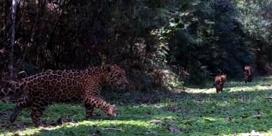 Cachorros de la yaguareté (reserva privada Rubichana)
