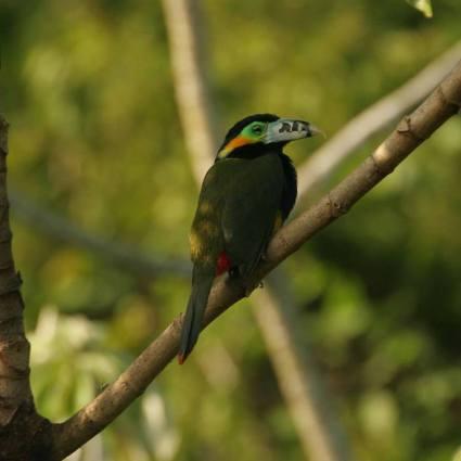 FotoArgentinaForestal.SelvaMisionera(Aves)