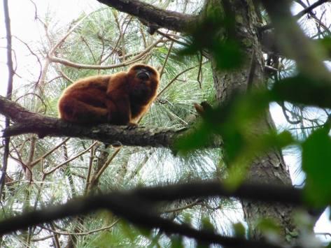 Habitad del Mono Caraya PP Piñalito2