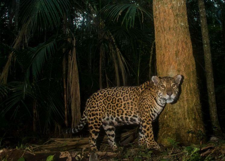 Foto 151_Panthera-onca_2_Emilio-White