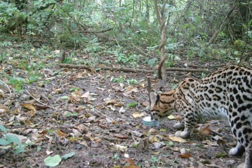 Foto (3) 148_Leopardus-tigrinus_4_Sebastian-Albanesi