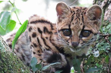 Foto (3) 149_Leopardus-wiedii_2_Adrian-Antunez