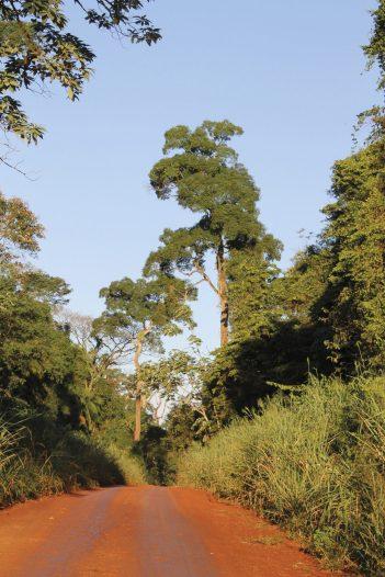 Palos Rosas en Selva con palo rosa y palmito 4- Guillermo Gil