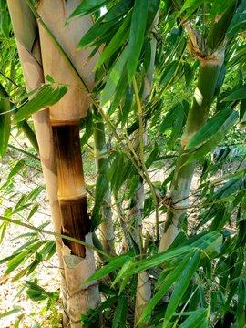 BambuGigante3