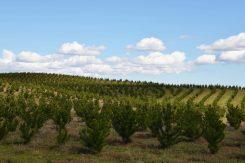 Chile Plantaciones 1