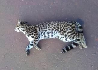 Atropellamiento fauna silvestre 2