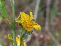 C. parviflora1