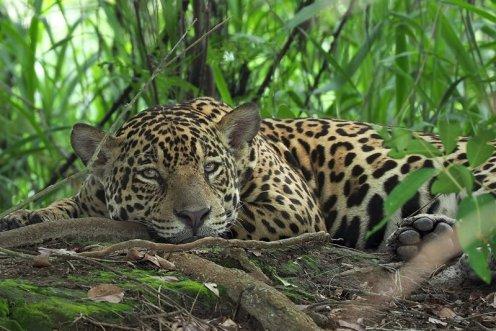 Foto Andoni Canela jaguar-bajo-un-arbol_e8dfa2df_800x533
