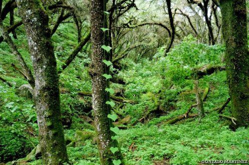 Bosques de pino del cerro (Podocarpus parlatorei) en Ambato (Catamarca) 1