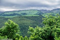 Bosques de pino del cerro (Podocarpus parlatorei) en Ambato (Catamarca) 2