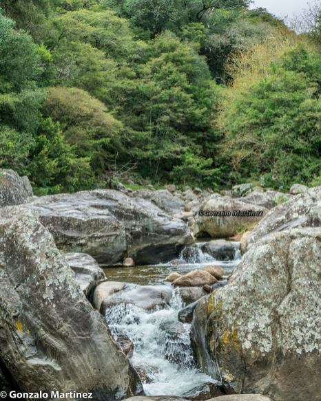 Bosques de pino del cerro (Podocarpus parlatorei) en Ambato (Catamarca) 5