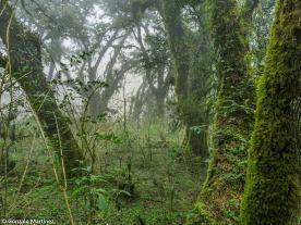 Bosques de pino del cerro (Podocarpus parlatorei) en Ambato (Catamarca) 6