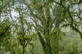 Bosques de pino del cerro (Podocarpus parlatorei) en Ambato (Catamarca) 8