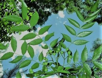Palo amargo Hojas y fruto verde