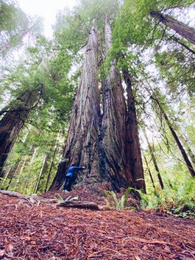 Secuoyas en Redwood National Park