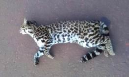 Atropellamiento-fauna-silvestre-2