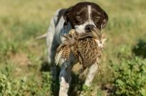 Partidge hunting